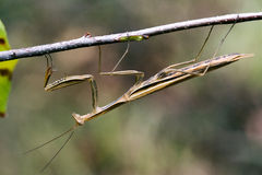 Praying mantis mantodea on a green brown branch Royalty Free Stock Images