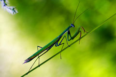 Praying mantis mantodea on a green Royalty Free Stock Photo