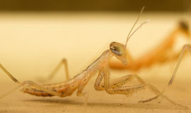 Praying Mantis (Mantodea) Nymph Royalty Free Stock Images