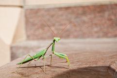 Praying mantis on a marble wall Stock Image