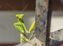 Praying Mantis. On metal bar india Royalty Free Stock Images