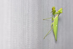 Praying mantis on mosquito wire screen ground Stock Image