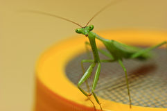 Praying Mantis on my seed sprouter Stock Photo