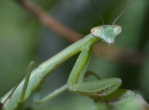 Praying Mantis Nymph Royalty Free Stock Photos