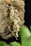 Praying mantis nymphs hatching from egg. Close up of praying mantis nymphs, hatching from egg case Stock Images