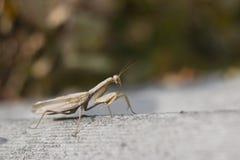 Praying mantis. Old brown praying mantis praying Stock Photography