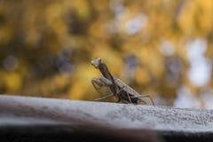 Praying mantis. Old brown praying mantis praying Royalty Free Stock Photos