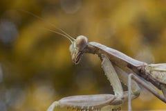 Praying mantis. Old brown praying mantis praying Stock Photo
