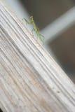 Praying Mantis On Slope 3 Royalty Free Stock Images
