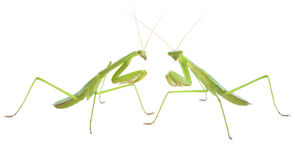 Praying mantis pair preparing to duel Royalty Free Stock Photos