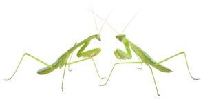Praying mantis pair preparing to duel. Close-up macro of two green praying mantises facing off royalty free stock photos