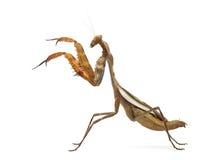 Praying mantis - Parasphendale sp Giant - Stock Photo