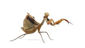 Praying mantis - Parasphendale sp Giant - Stock Photography
