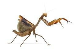 Praying mantis - Parasphendale sp Giant - Stock Images
