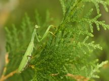 Praying Mantis Perched on Cedar. Praying Mantis patiently waiting for its prey by camouflaging itself on a branch of a cedar tree stock photos