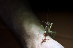 Praying mantis on a person's arm Stock Photos