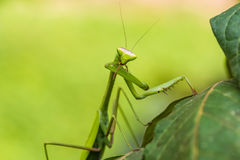 Praying mantis in the peruvian Amazon jungle at Madre de Dios Pe Royalty Free Stock Photo