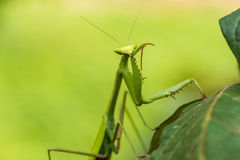 Praying mantis in the peruvian Amazon jungle at Madre de Dios Pe Stock Photography