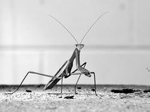 Praying Mantis photo shoot Stock Photos