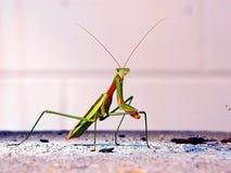 Praying Mantis photo shoot Stock Image