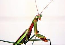 Praying Mantis photo shoot Royalty Free Stock Photos