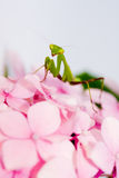Praying mantis pink flower Royalty Free Stock Photography