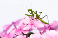 Praying mantis pink flower sideview Stock Photos
