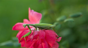 Praying Mantis on Pink Rose Royalty Free Stock Photo