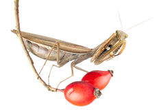 Praying mantis on plant Stock Photos