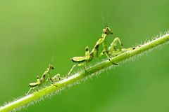 Praying Mantis. Please do not leave me mother Royalty Free Stock Image