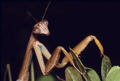 Praying Mantis Portrait Stock Photos