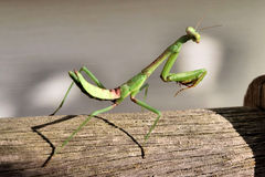 Praying Mantis. Portrait On Bench Royalty Free Stock Photo