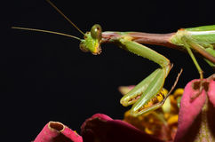 Praying mantis portrait closeup Stock Images