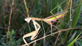 Praying mantis. Posing for the camera while i did some fishing Stock Photography