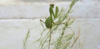 A Praying Mantis stock images