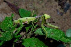 Praying Mantis, predatory insect Royalty Free Stock Photo
