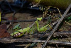 Praying Mantis, predatory insect Stock Image