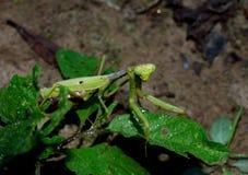 Praying Mantis, predatory insect Royalty Free Stock Image
