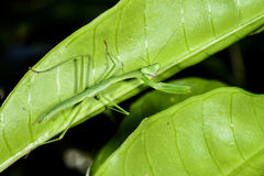 Praying mantis, ranomafana Stock Photo