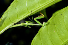 Praying mantis, ranomafana Stock Images