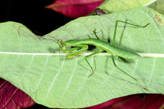 Praying mantis, ranomafana Royalty Free Stock Image