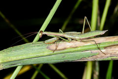 Praying mantis, ranomafana Stock Image