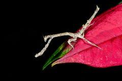Praying mantis, ranomafana Stock Images