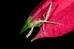 Praying mantis, ranomafana Stock Photos