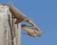 Praying Mantis Ready to Box Royalty Free Stock Photography