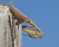 Praying Mantis Ready to Box Royalty Free Stock Photography