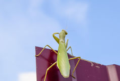 Praying mantis on a red fence. Predator insect mantis. Stock Photography