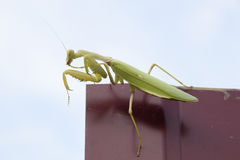 Praying mantis on a red fence. Predator insect mantis. Stock Photo
