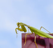 Praying mantis on a red fence. Predator insect mantis. Royalty Free Stock Image