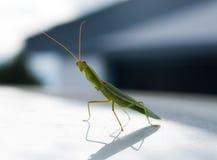 Praying mantis on reflective surface Stock Photos